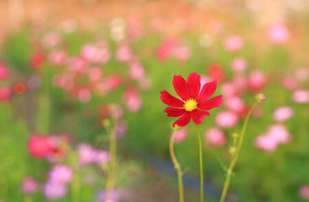 Beautiful cosmos flower in the summer garden with rays of sunlight in nature.