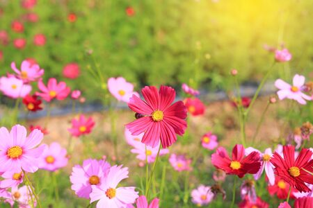 Beautiful cosmos flower in the summer garden with rays of sunlight in nature. Stock fotó