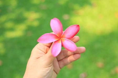 Plumeria or Frangipani flower in hand against green grass background Stock Photo