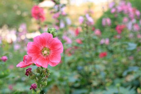 Hollyhock flower in a garden. Red pink Flower of hollyhock closeup on green blur background