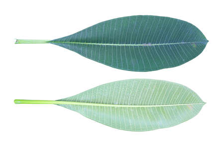 Green Plumeria or Frangipani leaf front and back isolated on white background with clipping path Stock Photo