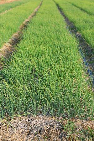 Onion plantation in thailand. Agriculture vegetable garden