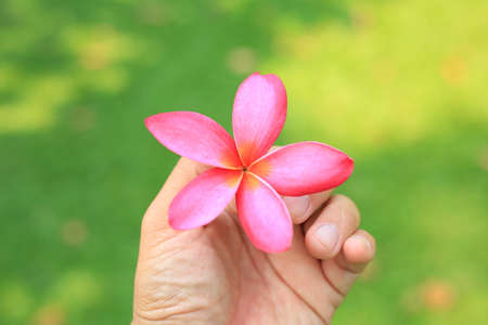 Frangipani or Plumeria flower in people hand against green grass background