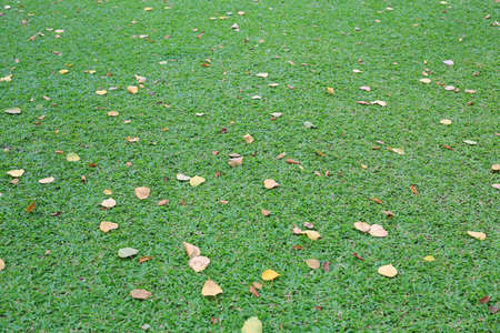 Perspective of green lawn with dry leaves on grass. Dried leaf fall on ground