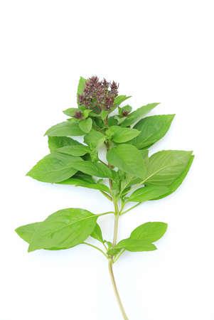 Thai sweet green Basil bunch on white background