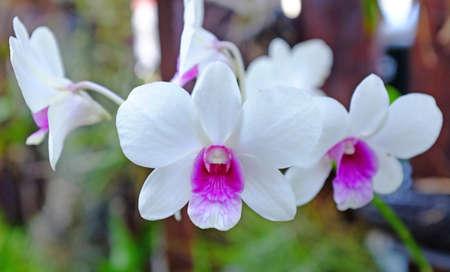 Beautiful white-purple Orchids flower in the garden