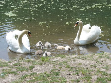 swans: Swans family