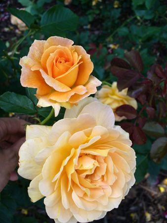 Roses Stock Photo - 3569433