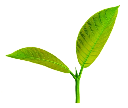 Young leaves  isolated on white Banco de Imagens