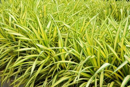 Pandanus baptistii Screw Palm in tropical garden Banco de Imagens