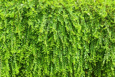 Phyllanthus myrtifolius Banco de Imagens