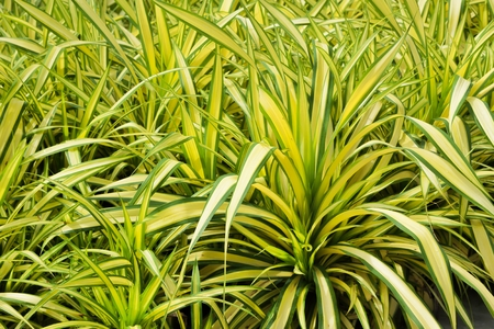 Pandanus baptistii Screw Palm in tropical garden Stock Photo