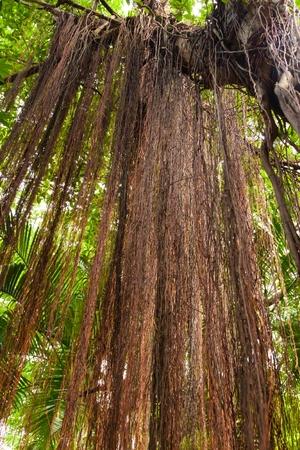 root  banyan Banco de Imagens