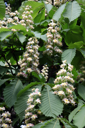 blooming chestnut photo