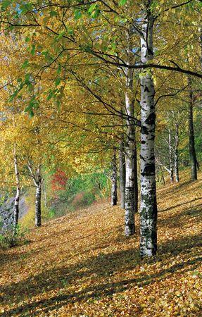 Birchwood in the autumn. Photo.