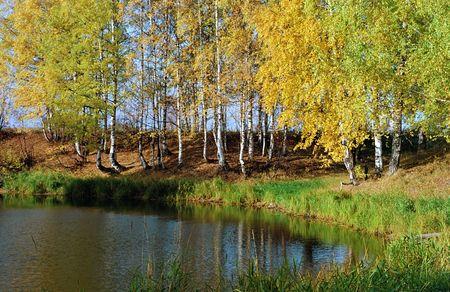 Birchwood on coast of lake.  Stock Photo