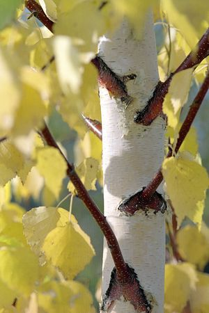 Stem of a birch with yellow leaves.