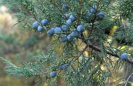 Ripe berries of the juniper. Photography. Stock Photo
