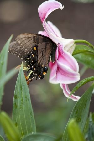 stargaze: A Black Swallowtail Landing on a lily Stock Photo