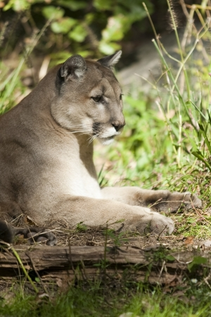 A cougar rests on a grassy hill side photo