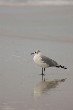 Seagull reflection Stock Photo - 325681