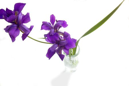 Spring iris isolated in vase