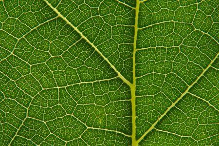 dewey: green leaf closeup