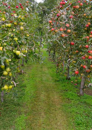 apple orchard: Apple orchard with red and green apples Stock Photo