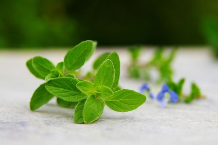 Closeup of fresh green oregano leaves