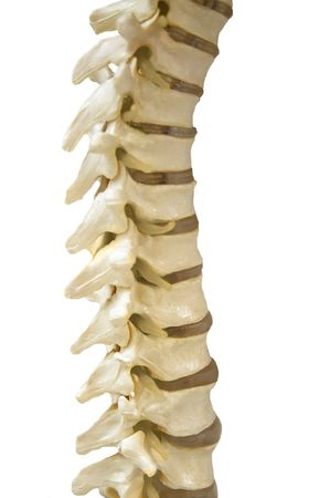 Human Spinal-column model, isolated on white photo