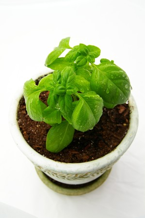 small basil plant with water droplets