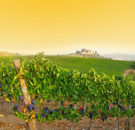 Vineyard in Tuscany, Italy at dusk photo