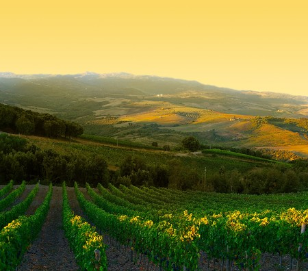 Vineyard with ripe purple grapes at sunrise in Tuscany, Italy Banco de Imagens - 7969153