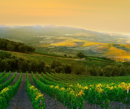 Vineyard with ripe purple grapes at sunset in Tuscany, Italy Stockfoto