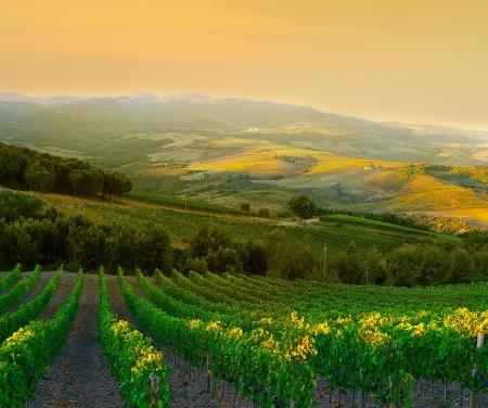 Wijngaard met rijpe paarse druiven bij zonsondergang in Toscane, Italië Stockfoto - 14576336