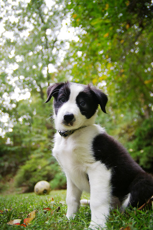 border collie puppy: Border Collie puppy sitting out in the yard