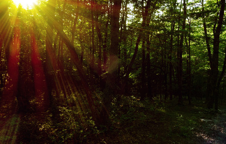 Bright sunlight beaming through forest trees, with specular highlights Stock Photo