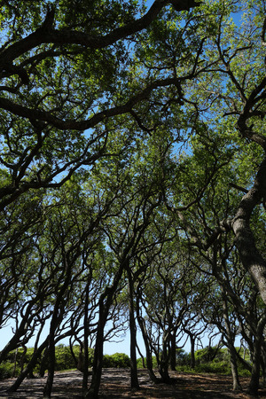View of the live oak trees at Fort Fisher State Park, NC Stock Photo