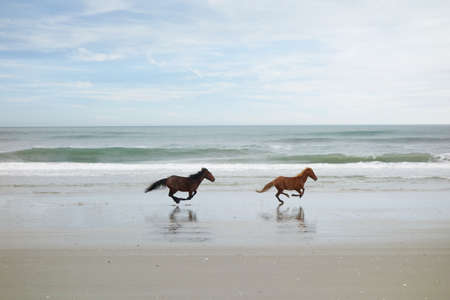 Two wild horses running on the beach in Corolla on North Carolina Outer Banks 免版税图像
