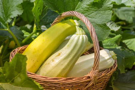 Basket of fresh picked yellow zucchini and squash