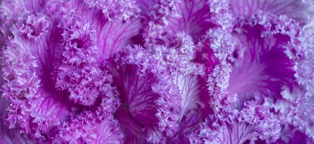 Decorative cabbage brassica oleracea acephala or kale