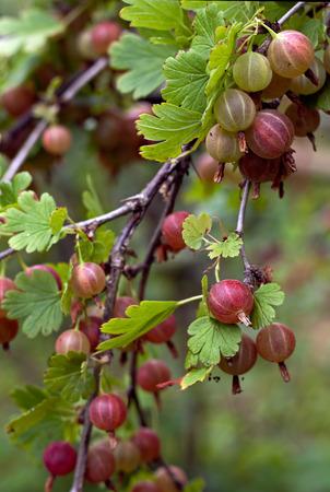 gooseberry bush: gooseberries. Stock Photo