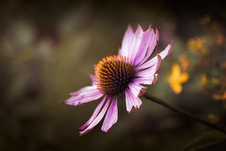echinacea purpurea: Echinacea purpurea.