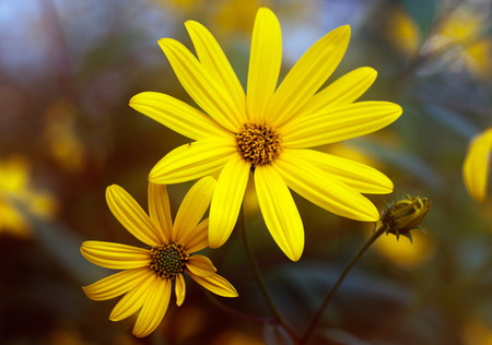 jerusalem artichoke: Two flowers of Jerusalem artichoke.