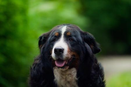 bernese dog: Bernese Mountain Dog portrait.