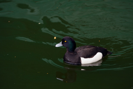 tufted: Tufted Duck swimming in the lake.