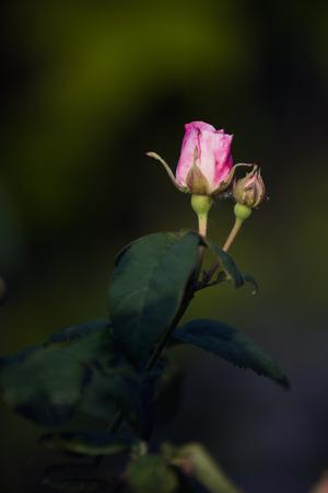sun lit: The rays of the setting sun lit the beautiful rose bud.