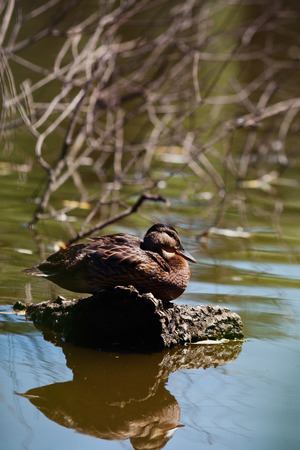 climbed: Cute duck climbed on a log to rest near the lake shore summer day. Stock Photo