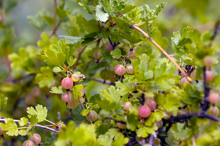 many branches: Many gooseberry fruits on the branches of a warm summer day. Stock Photo
