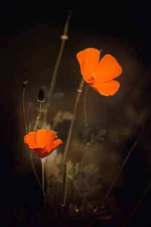 couleurs vives: Lovely bright colors eschscholzia warm autumn evening.